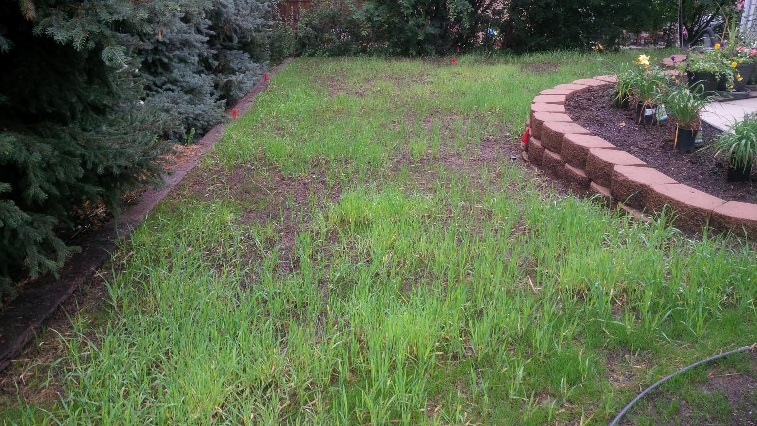 Unwanted wheat plants in a new lawn